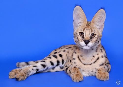 serval5mi