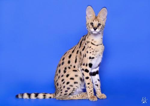 serval5mj