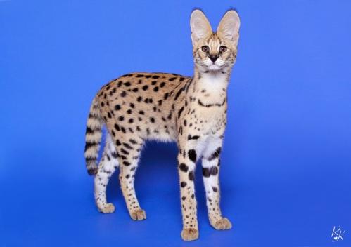 serval5ml