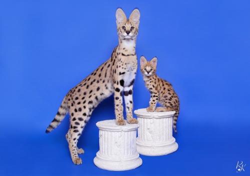 serval5mm