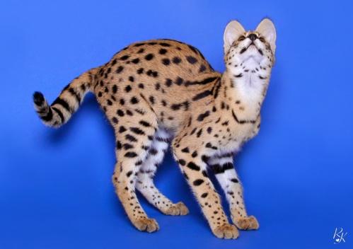 serval5mn